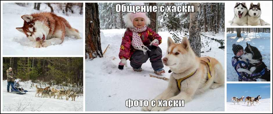 Катание на голубоглазых хаски. Стоимость от 2900 рублей.