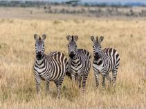 Масаи-Мара. Кения. ноябрь 2013 год