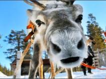 Готовьте сани летом! Туры на встречу Нового Года в Лапландии! Незабываемые впечатления на год вперёд!